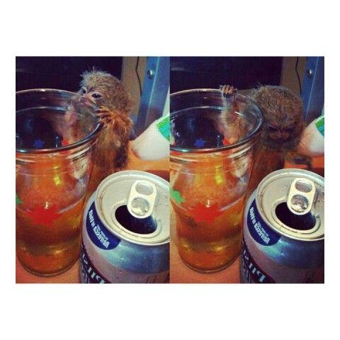 Monito buscando alcohol @