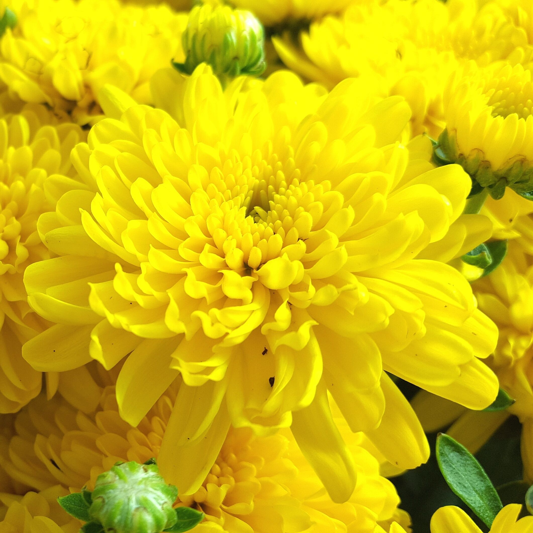 Gorgeous Fall Mums | The Family Tree Garden Center