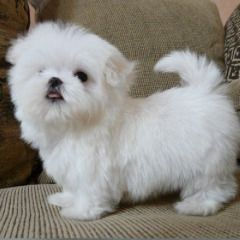 Pets For Free Adoption In Ajman Teacup Puppies Maltese Maltese Puppy Puppies