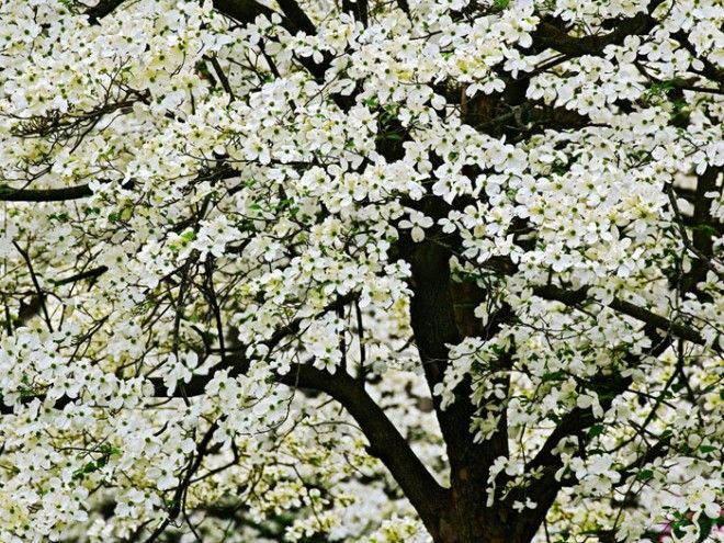 20 Most Beautiful Flowering Trees Around The World Dogwood Trees