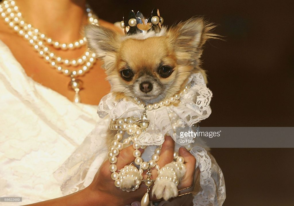 Lily The Chihuahua Dressed As Vivienne Westwood Bride At The Dog