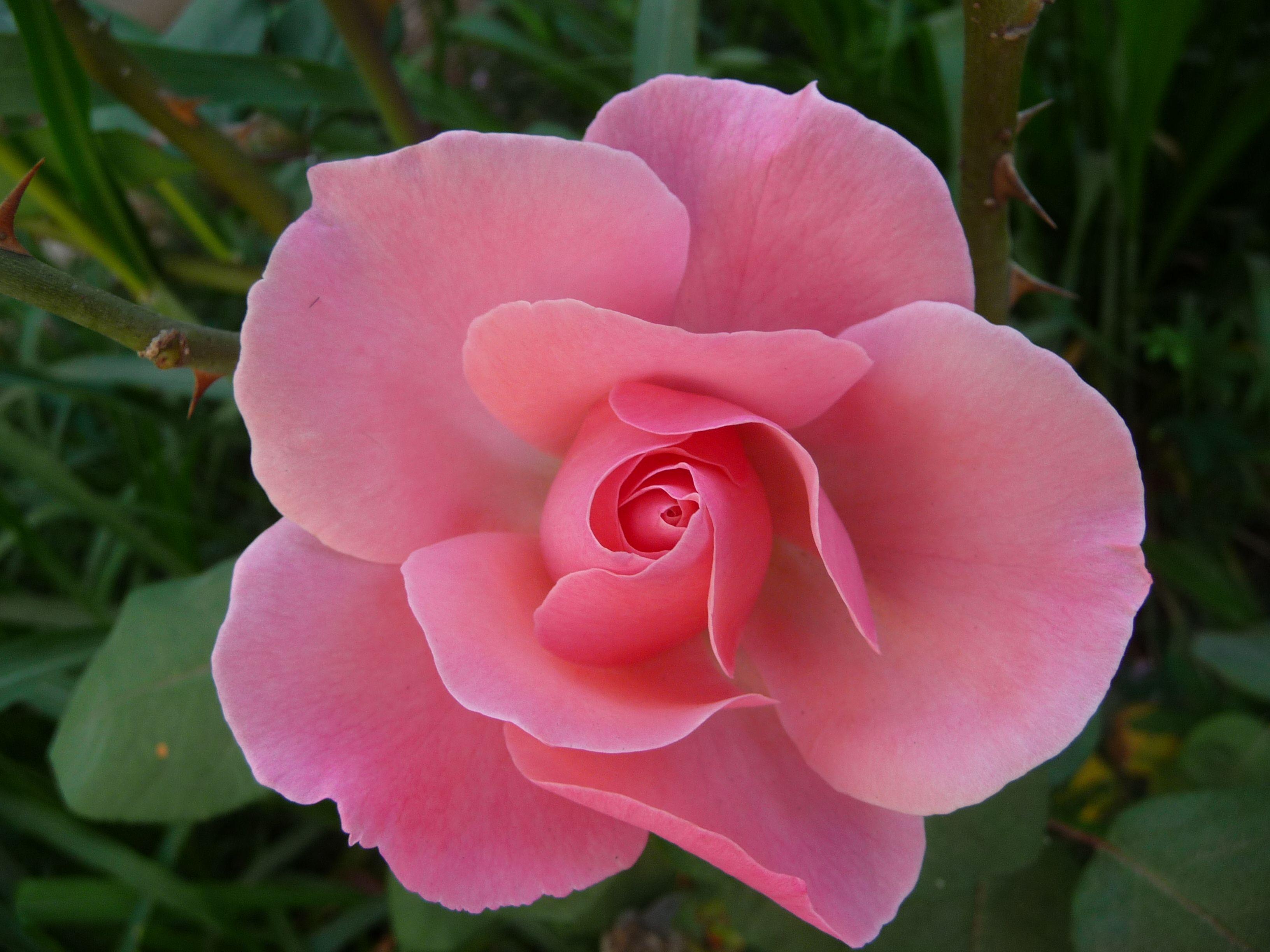 la rosa mas linda de mi jardín.