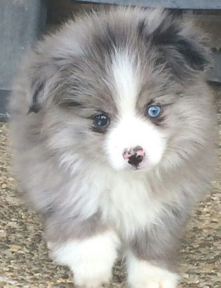 Pin by xtiffanx on aussies with tails aussie puppies