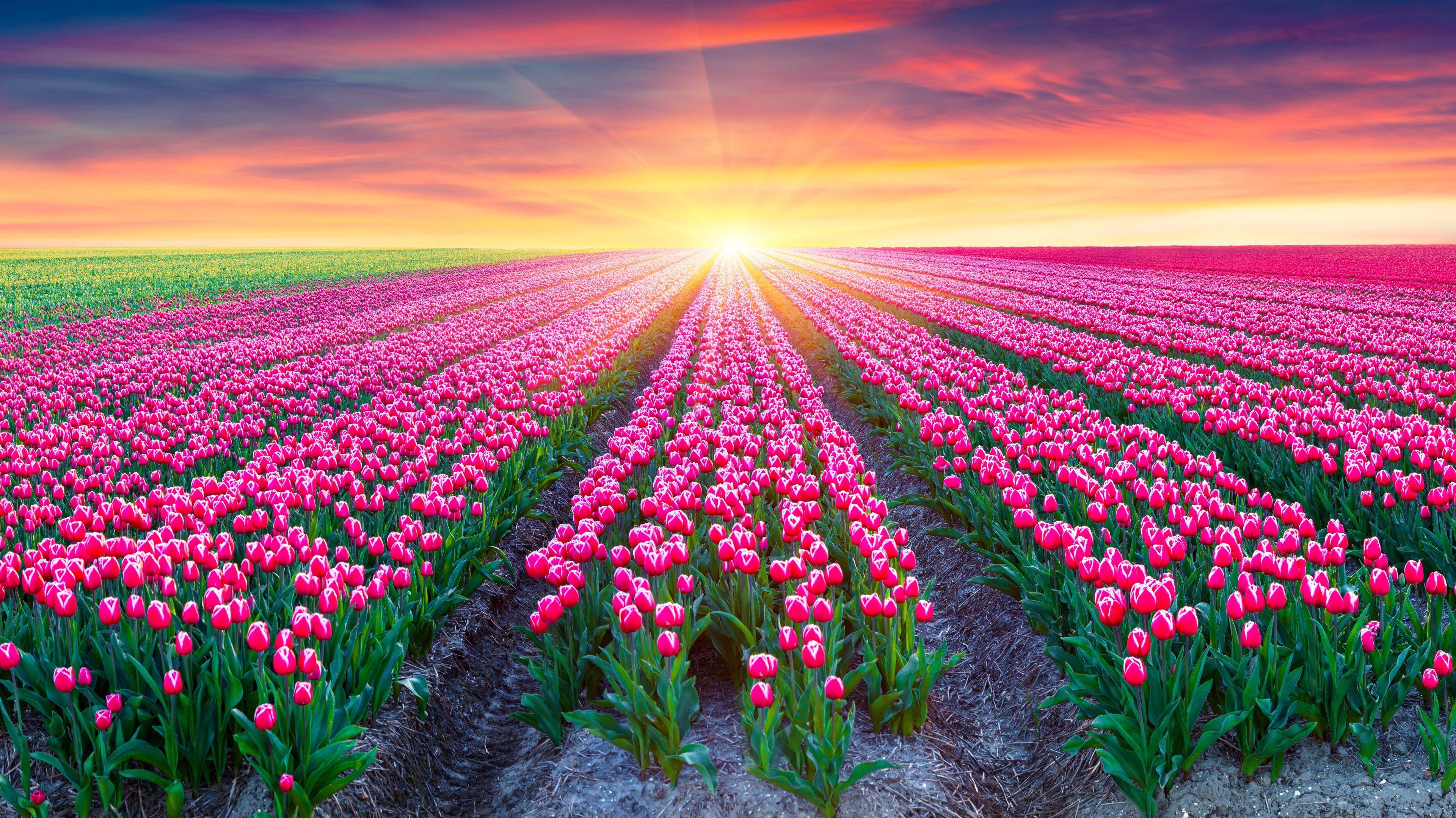 Tulip Fields Of Beautiful Flowers Wallpaper Hd Free Download Flower Field Field Wallpaper Tulip Fields