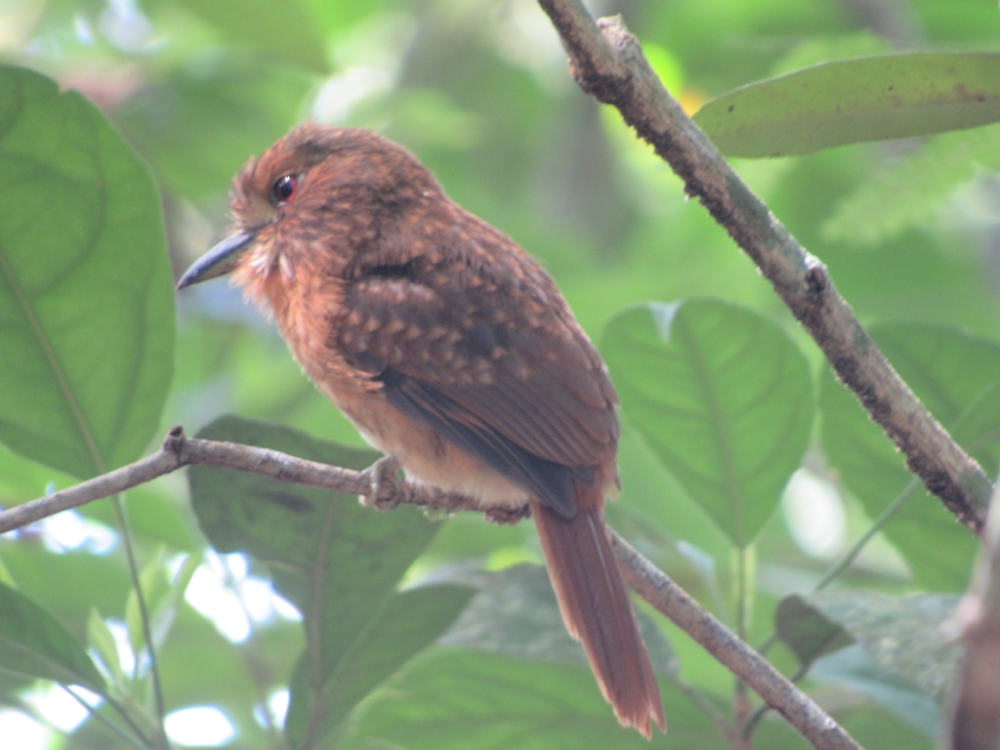 White-whiskered Puffbird from Alta Verapaz, Guatemala on October 01, 2019 at 10:27 AM by dennis_medina · iNaturalist