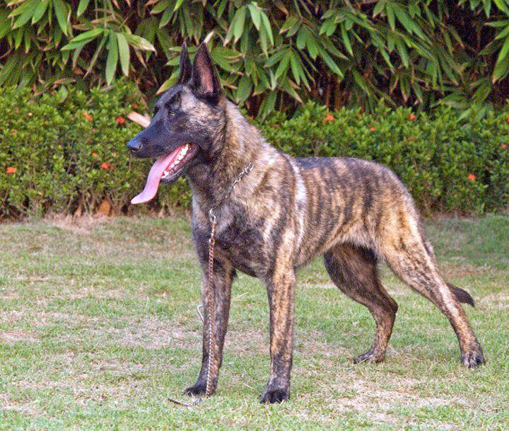 Dutch Shepherd Dutch Shepherd Dog Police Dog Breeds Dogs