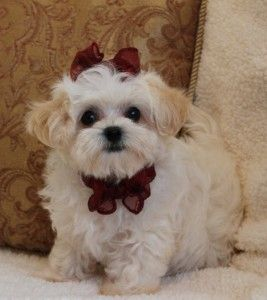 Maltipoo Puppies For Sale In Missouri Maltipoo Puppy Cute Baby