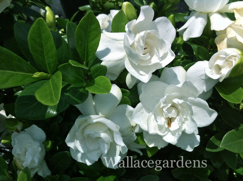 Gardenia Love The Look Perfect In Green And Thick Creamy White
