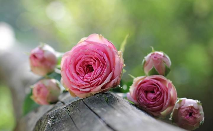 Flower meanings language of flowers pink roses flowers and flower meanings language of flowers mightylinksfo