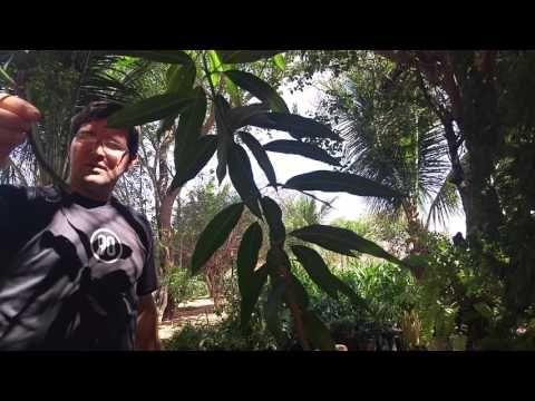 MANGA PRODUZINDO EM 5 MESES FAÇA VOCÊ MESMO JABOTICABA PÊRA MAÇÃ LARANJA LIMÃO NATUREBA Sítio GilSat - YouTube