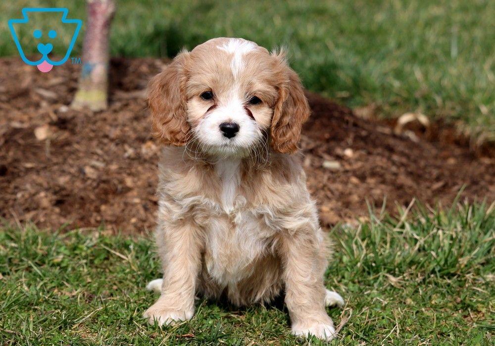 Dora In 2020 Cockapoo Puppies For Sale Cockapoo Puppies Puppies