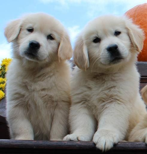 Pin By Tim Gill On Golden Retriever Dogs Retriever Puppy Dogs