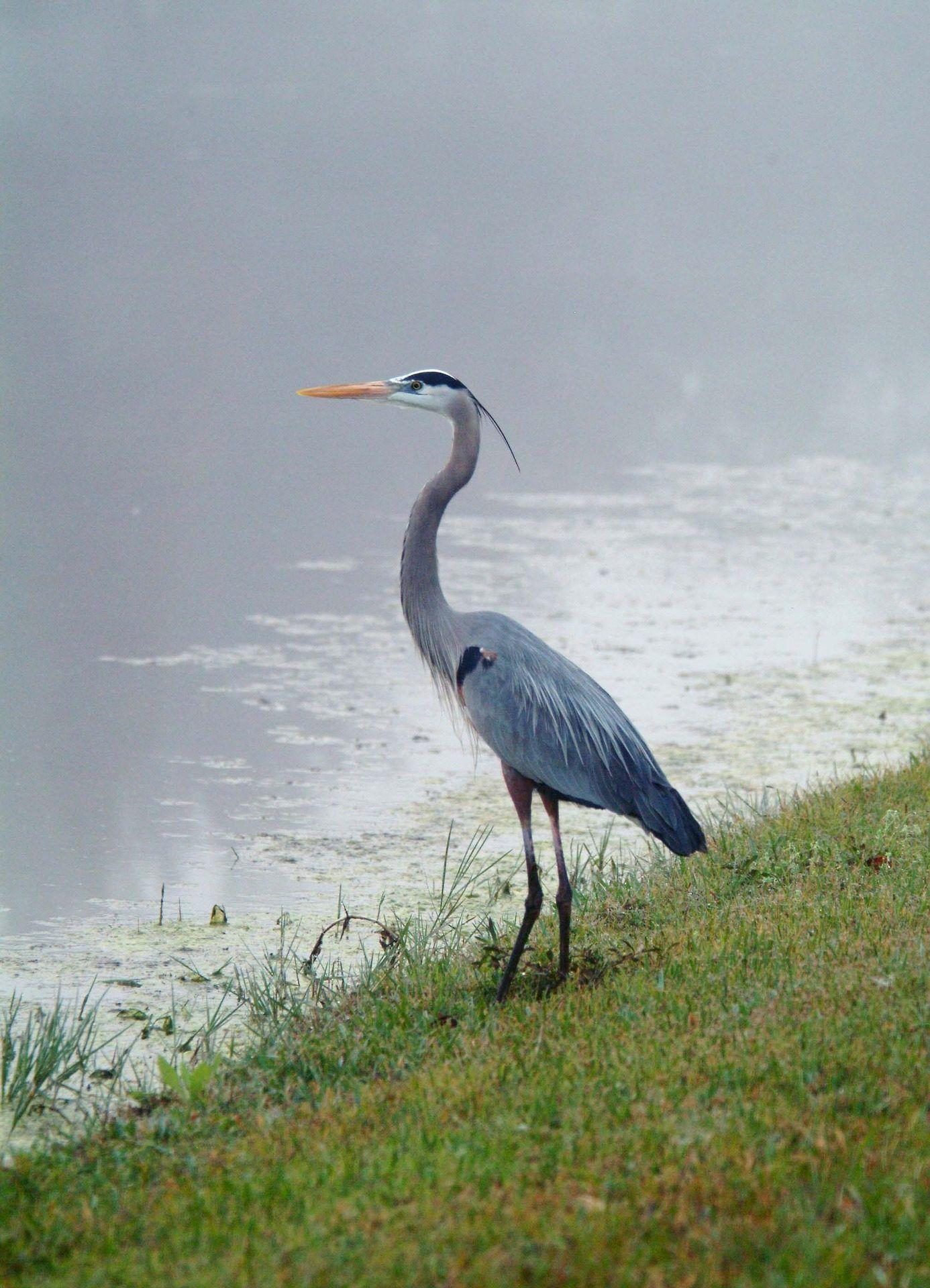 grulla, pájaro, ave, pantano, laguna, salvaje, libertad, 1702020833 ...