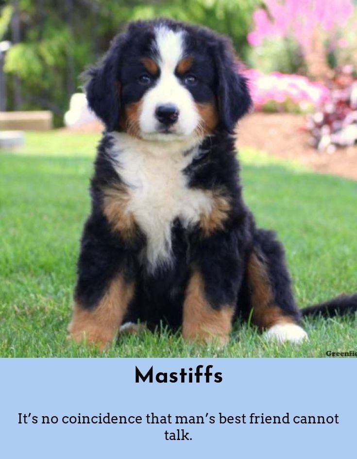 7 Best Dogs Breeds for People Allergies Bernese mountain