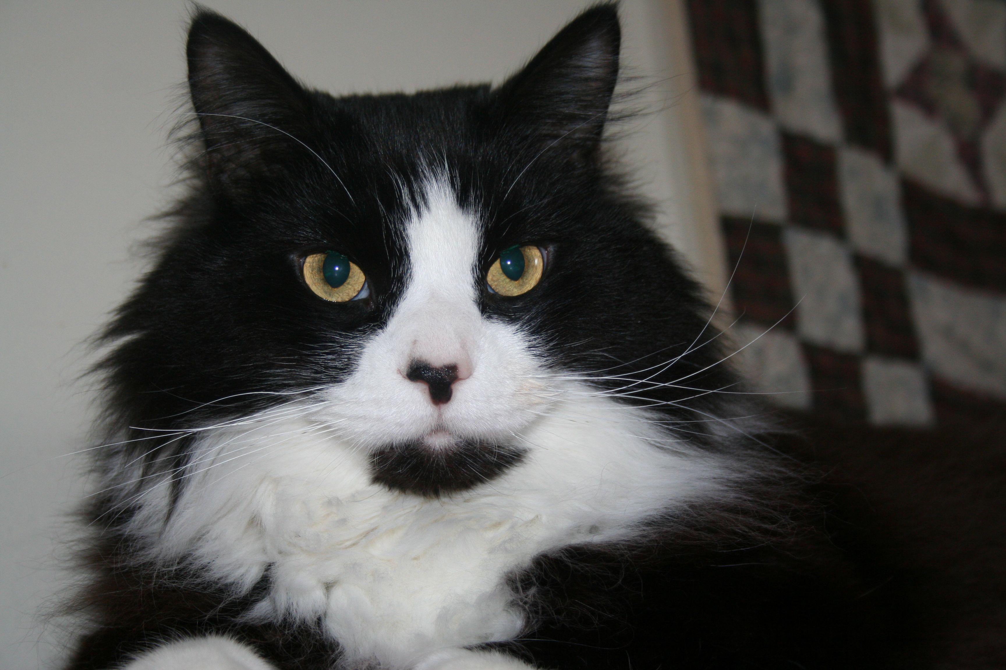 tuxedo cat Cats, kittens, Crazy cats, Cute animals
