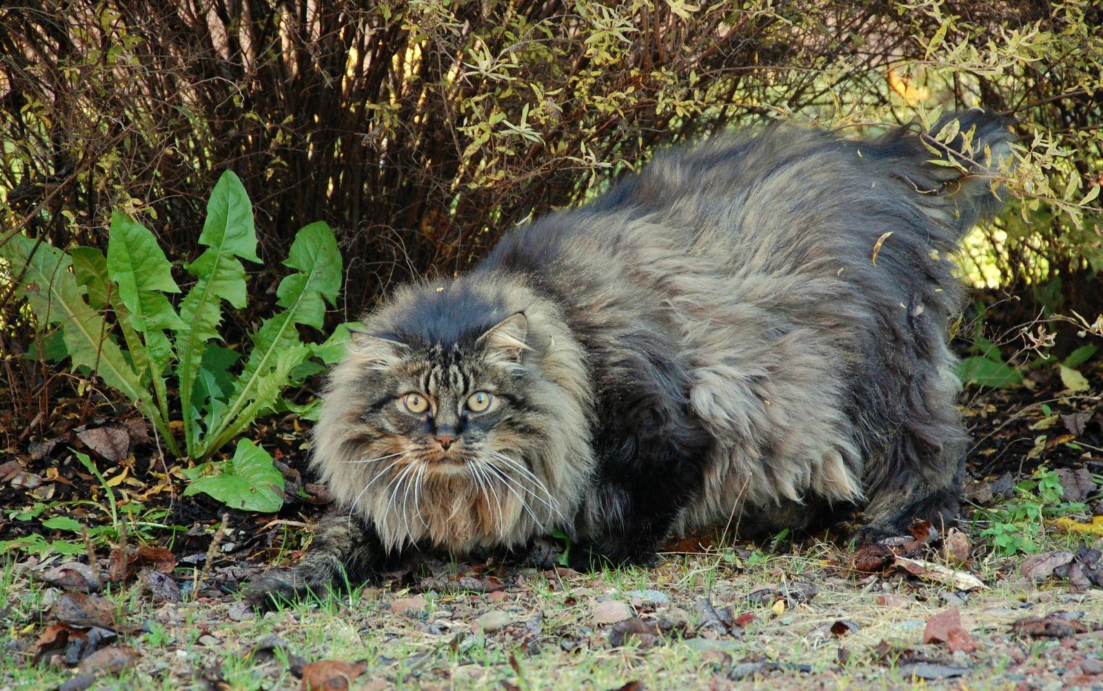 Norwegian Forest Cat Norwegian Forest Cat Forest Cat Huge Cat