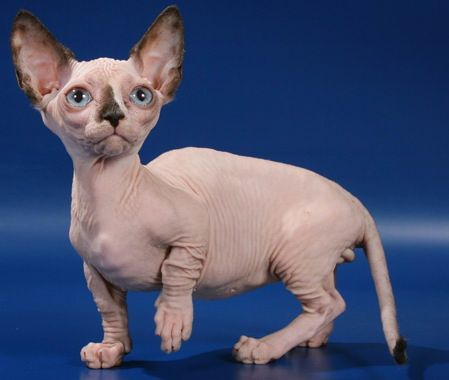 Short Legged Hairless Cats Too I M Trying To Decide Of We Want A