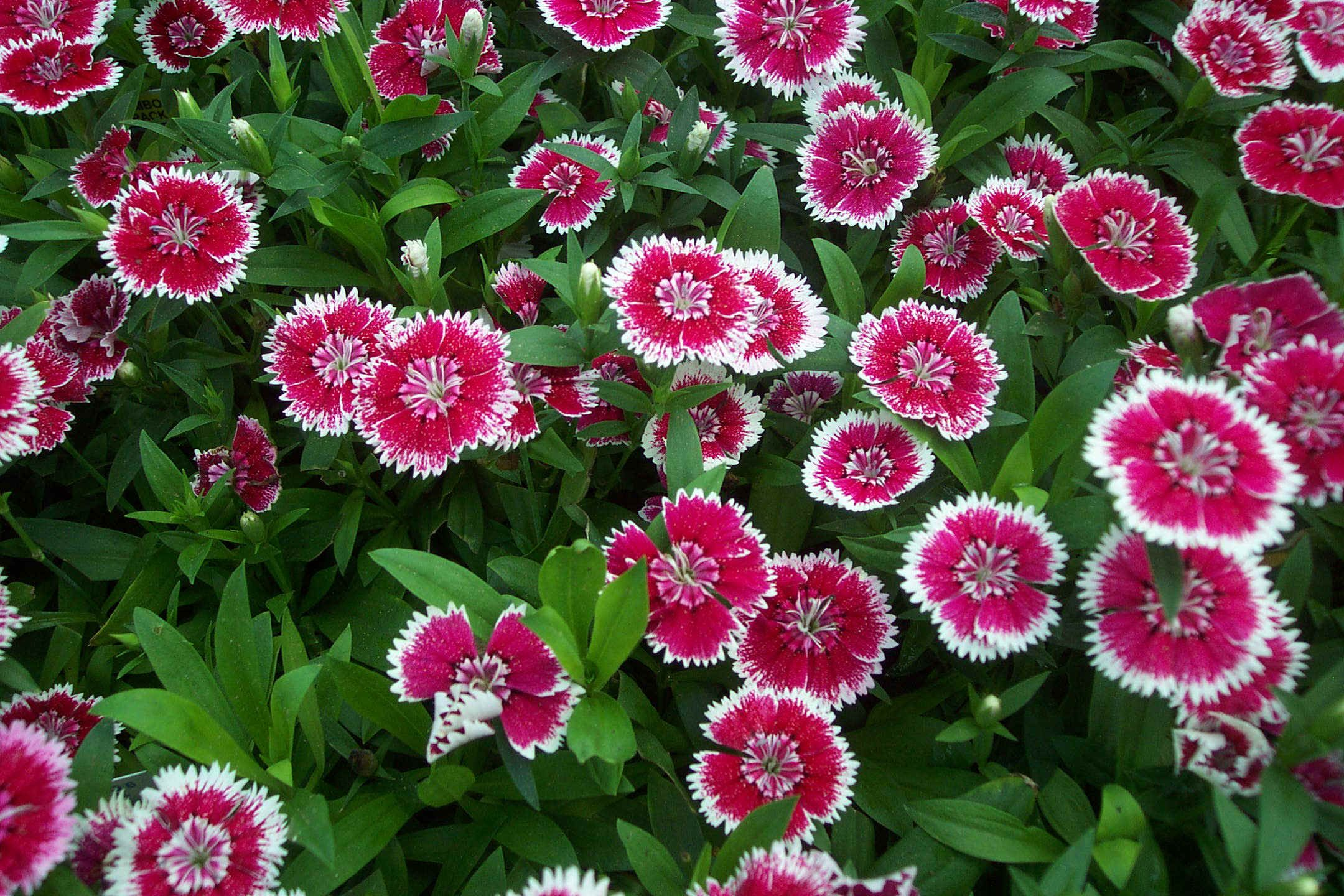 Annual flower pictures and names dianthus dianthus is a genus of annual flower pictures and names dianthus dianthus is a genus of about 300 species of izmirmasajfo Image collections