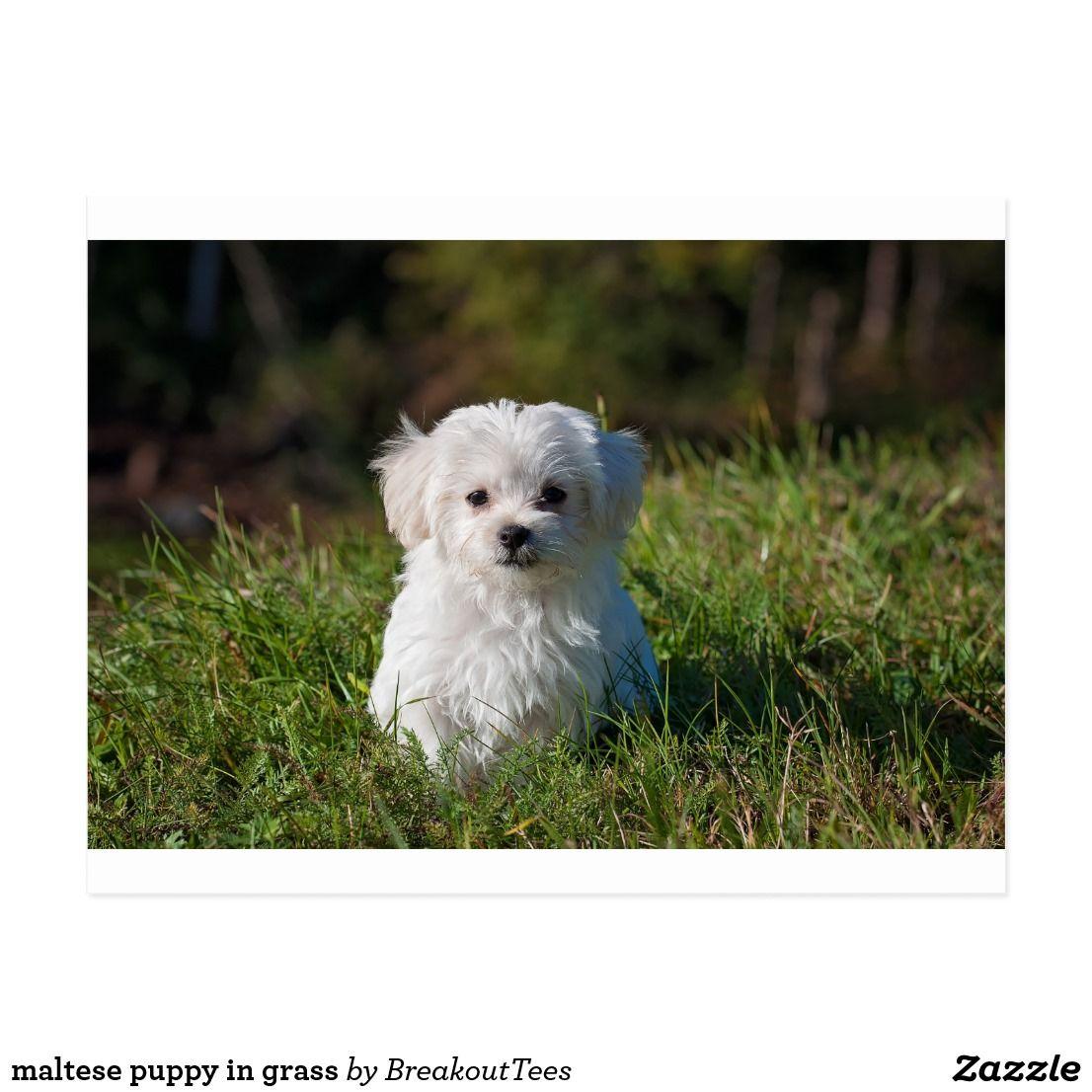 Maltese Puppy In Grass Postcard Zazzle Com Cute White Puppies