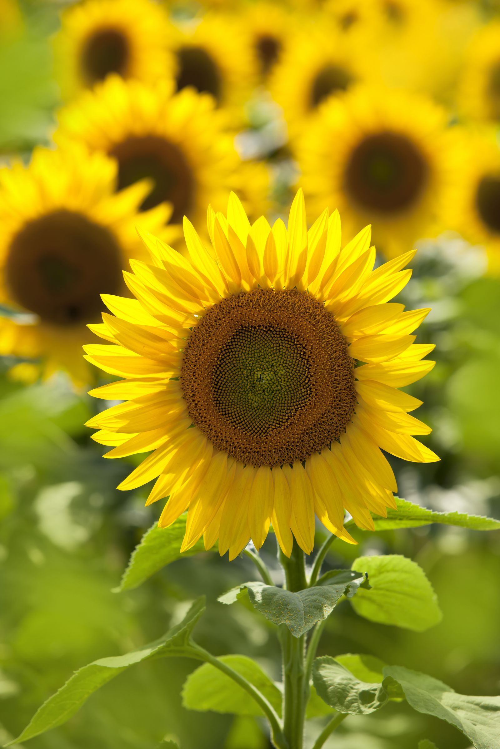 30 Best Flowers That Bloom In Summer For Your Home Garden Sunflowers And Daisies Planting Flowers Full Sun Flowers