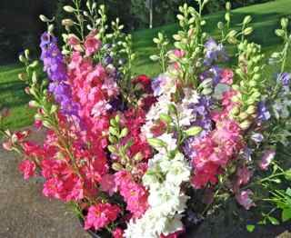 Larkspur in hues of purple, pink, and white grown by Fernrock Farm.