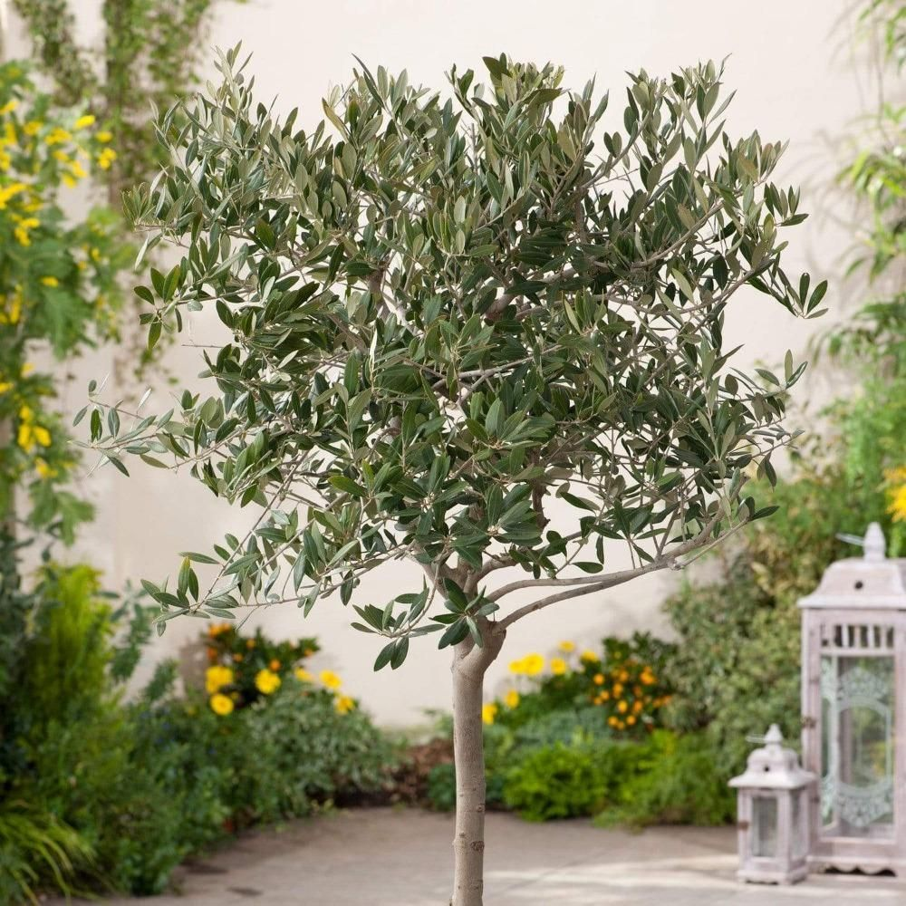 Arbequina Olive Trees in 2020 Arbequina olive tree