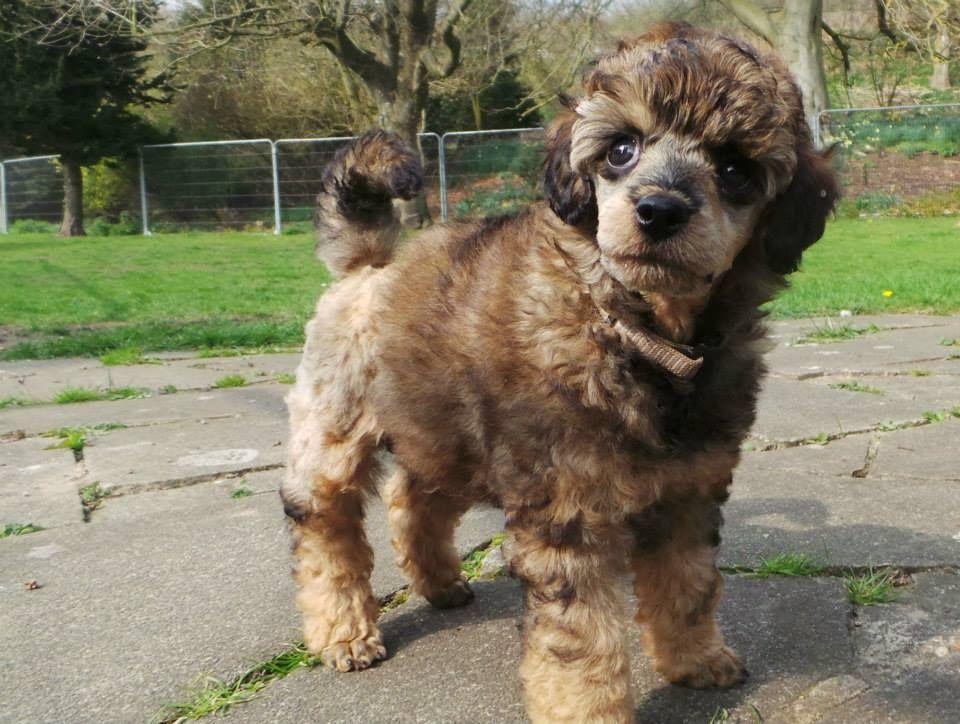 Hey Good Looking Sable Phantom Poodle Phantom Poodle Poodle
