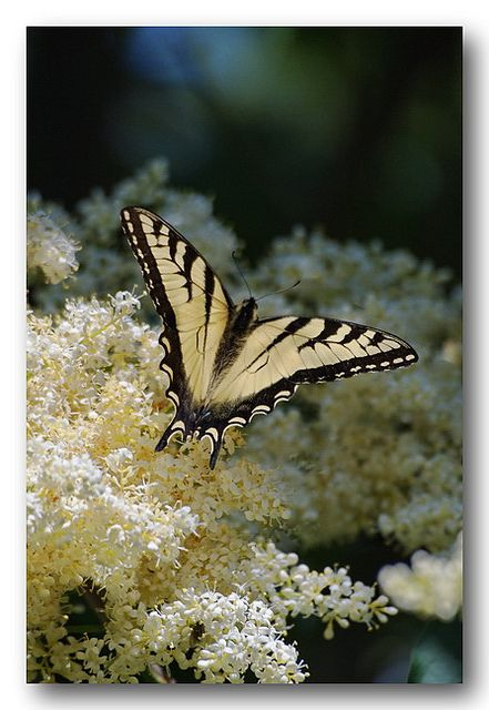 ~~Yellow Swallowtail butterfly by Stephen Just~~