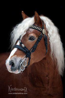 Haflinger Hengst Aladin - Fam. Luber - Pferdefotografie, Hundefotografie, Fotogr...