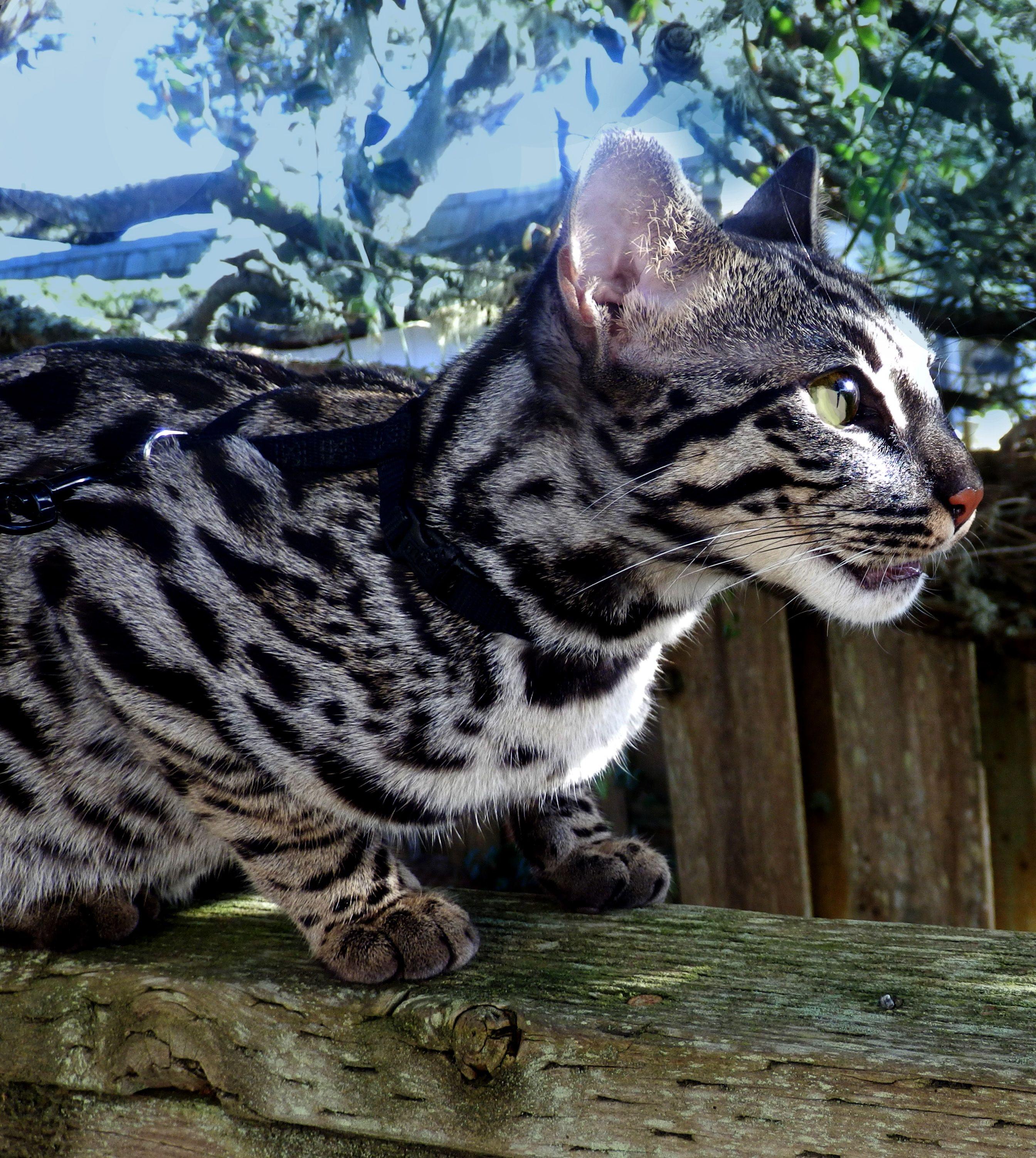 JAG F1 Silver Charcoal Bengal Bengal cat, Bengal kitten