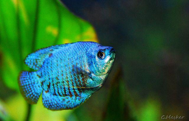 Neon Blue Dwarf Gourami Pet Research Tropical Fish Fish Tropical Fish Aquarium