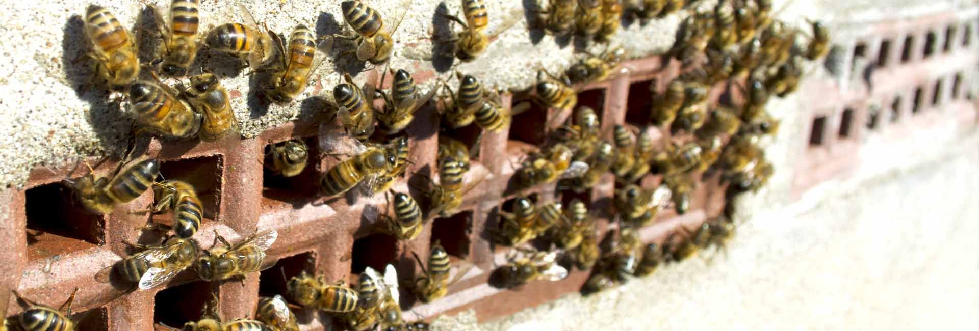 Honey bee removal bee removal from wall vents in bristol