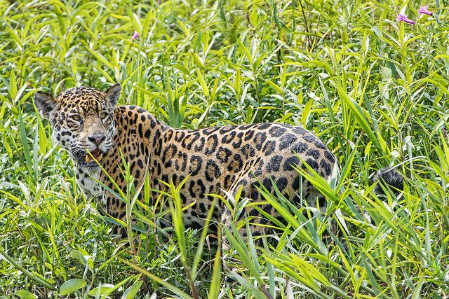 Mother jaguar in the vegetation - Tambako The Jaguar