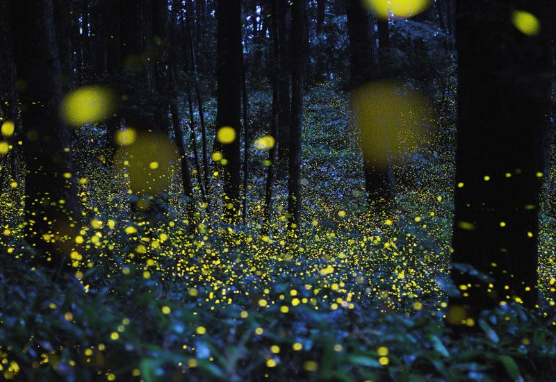 Fireflies use a chemical reaction to produce distinctive, sometimes elaborate signals, from synching up with neighbors to flashing Morse-code style, to find mates, says a firefly expert.