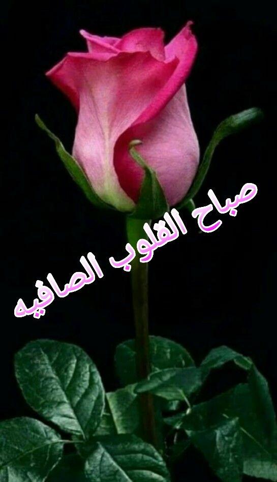 صباح القلوب الصافيه Flowers Plants Rose
