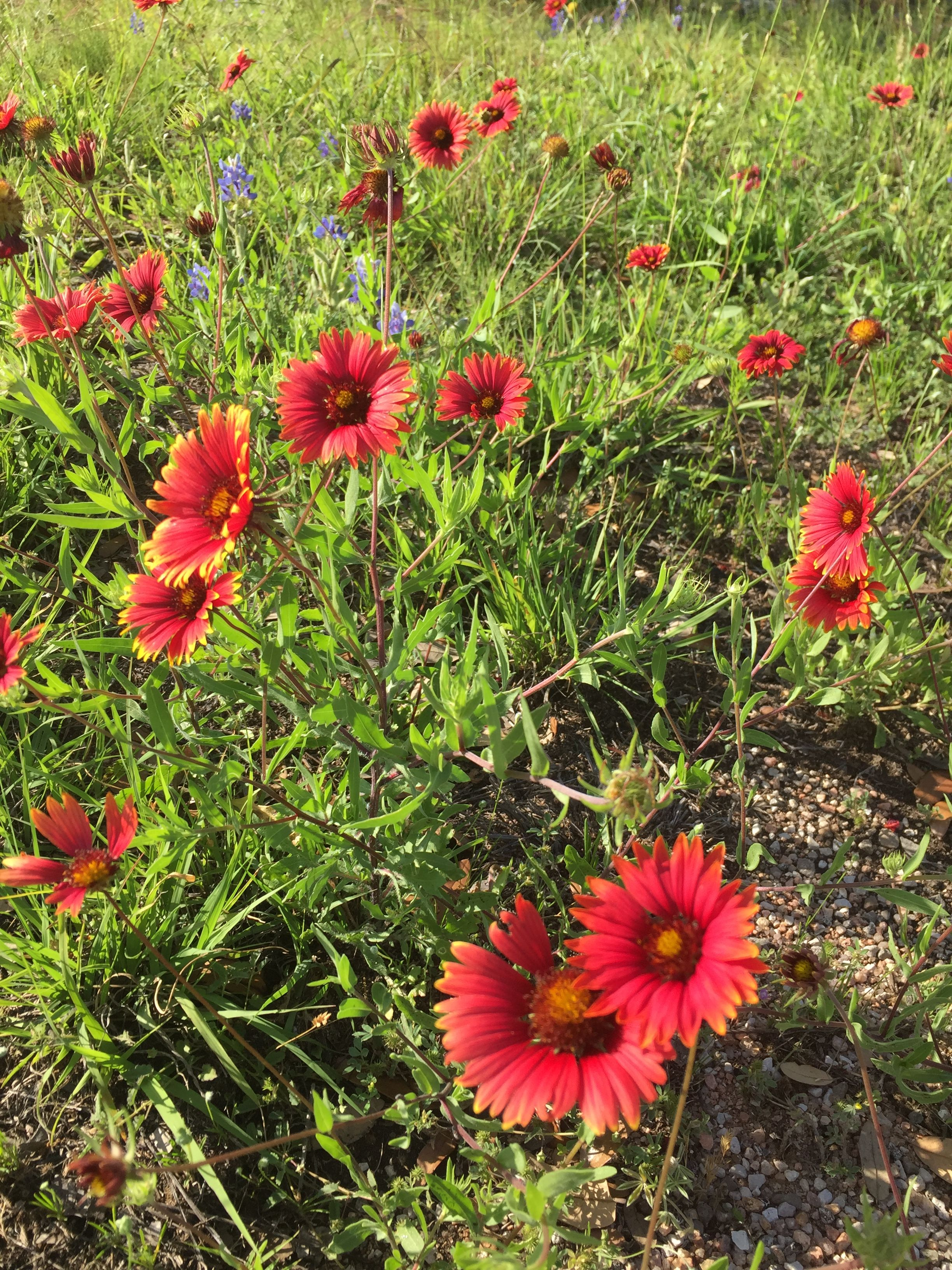 Texas Hill Country wildflower Indian Blanket Wild