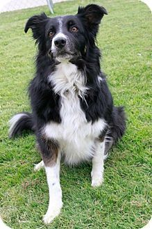 Albuquerque Nm Australian Shepherd Border Collie Mix Meet