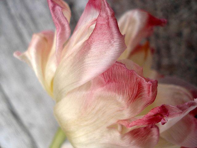 tulip   Flickr