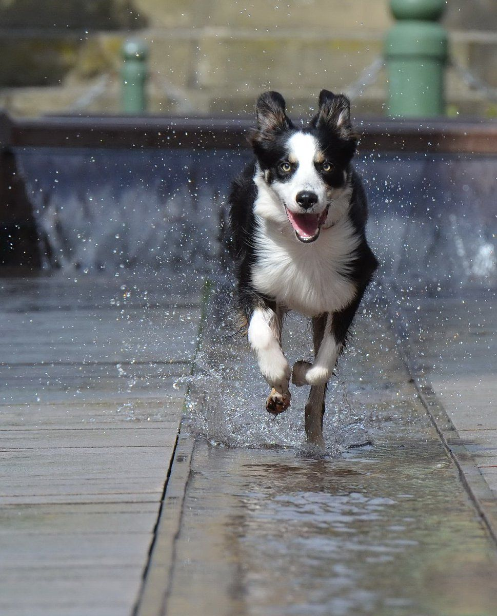 Ernie And Berti On Twitter Athletic Dogs Breeds Border Collie Dog Breeds
