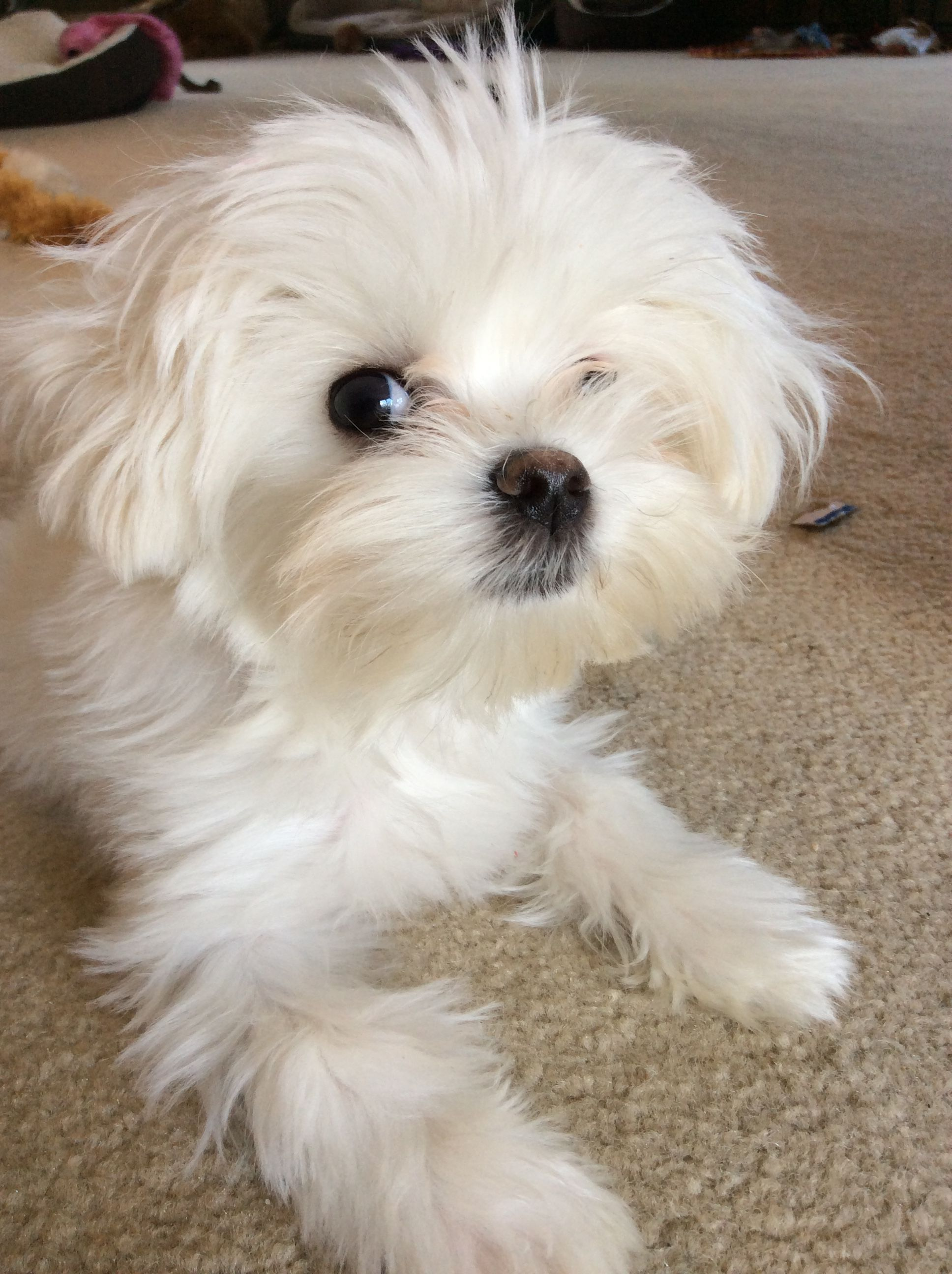Omg Maltese Maltese Dogs Teacup Puppies Maltese Maltese Puppy