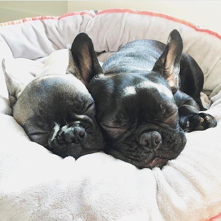 Boba N Stewie Fuzzyardeffect Sleepallday Fuzzyard Worldwideshipping By Fuzzyard H French Bulldog Funny French Bulldog Puppies Bulldog Puppies