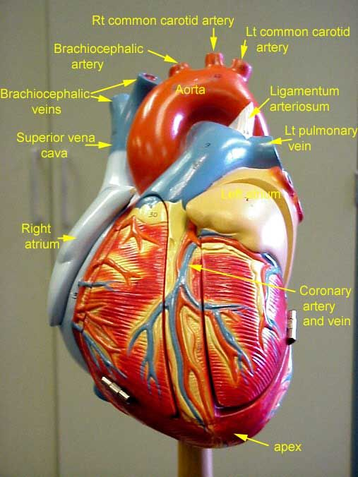 heart model Google Search Anatomy/Physiology