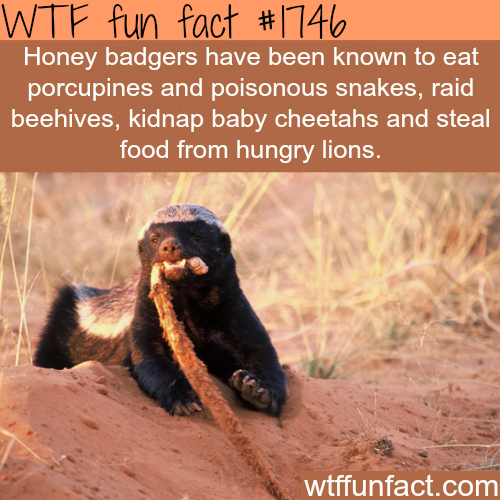 Facts about the Honey badgers -WTF fun facts- Honey Badgers ain't give a Sh*t  hahahaha