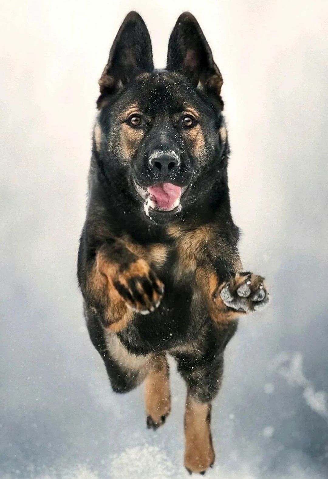 Pin By Darcy Hamil Scott On Animals And Pets Gsd Dog Sable