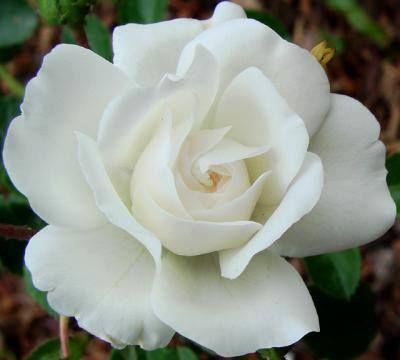 Rosa blanca!!!
