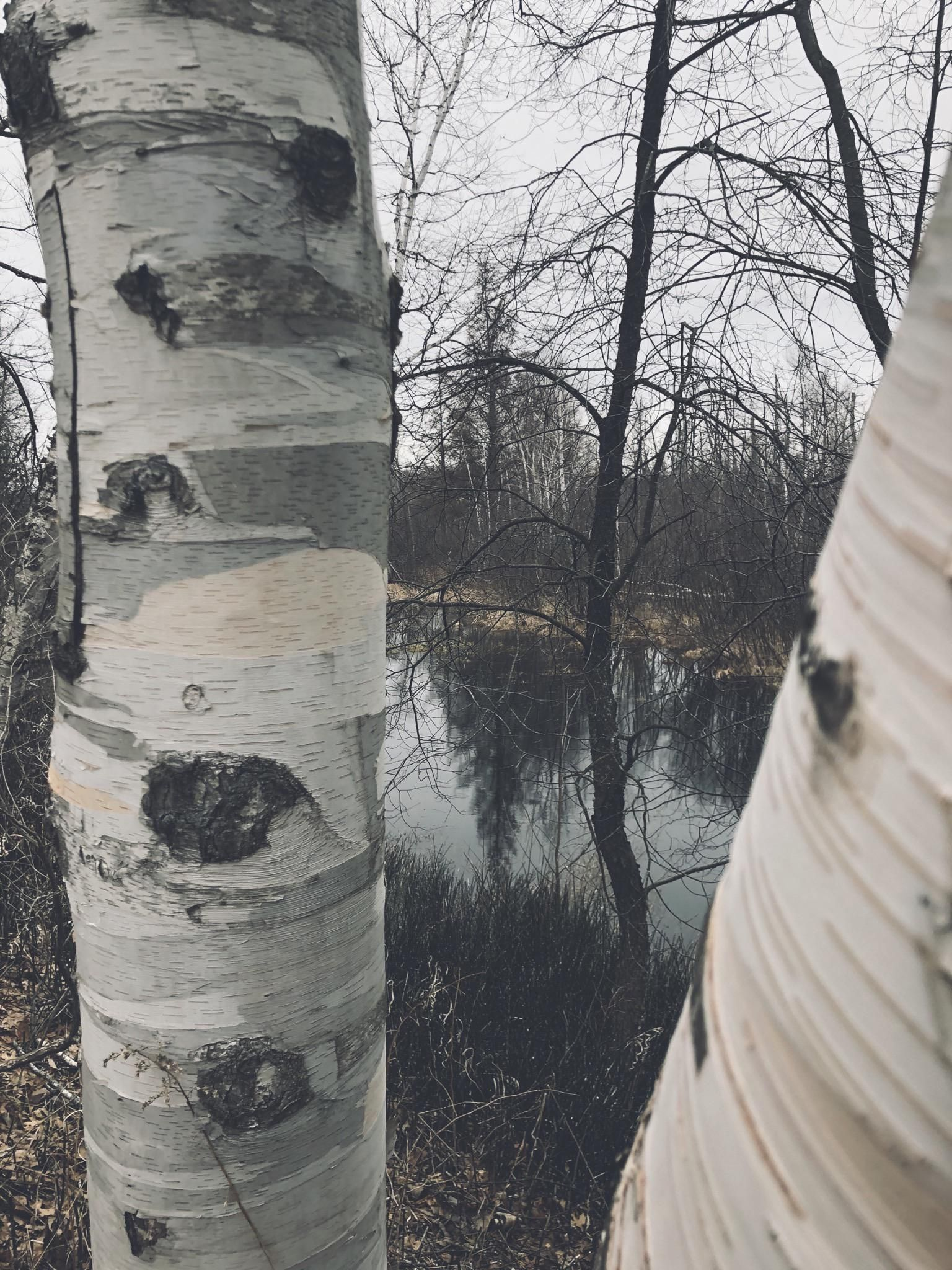 A birch tree. Au Sable Mi. #nature #teesylvania #photos #amazingworld #world #amazingphotography #naturephotography #photography #incrediblephotos Check out teesylvania.com to find out how you can support the forests with style!