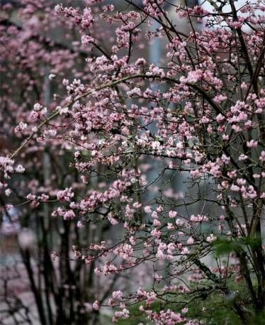 kalina bodnante ska 39 dawn 39 viburnum bodnantense albamar plants pinterest plants. Black Bedroom Furniture Sets. Home Design Ideas