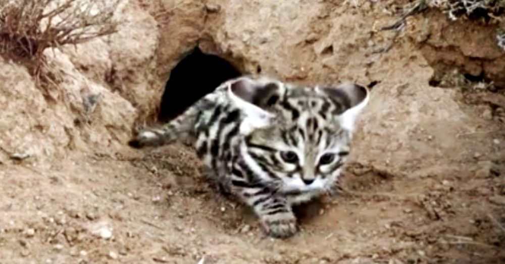 Meet The Deadliest Cat On Earth Black Footed Cat Rare Cats Wild Cats