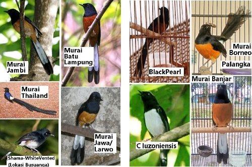 Jenis Burung Murai Batu Bird Animals Batu
