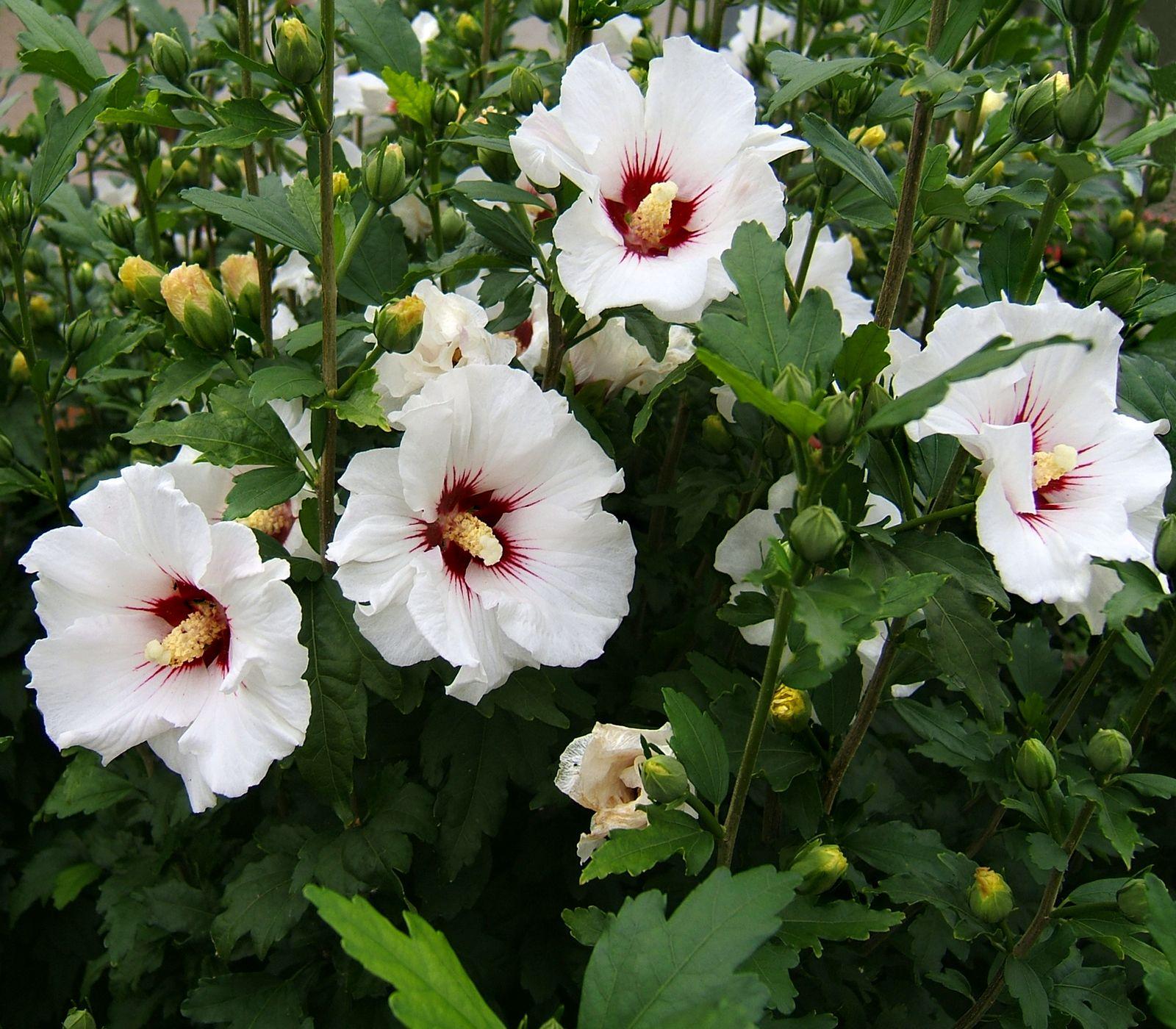 White Hibiscus Tree Bhibiscusb Wikipedia The Free